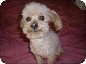 Toy Poodle Dog for adoption in Somerset, Kentucky - Copper