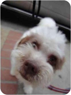 Maltese/Shih Tzu Mix Puppy for adoption in Sherman Oaks, California - Candy