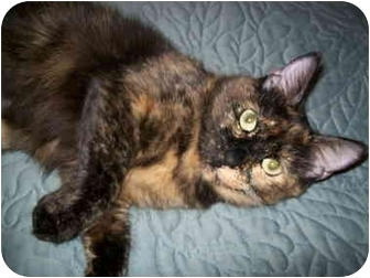 Domestic Shorthair Cat for adoption in Houston, Texas - Sauce
