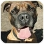 Photo 1 - Mastiff Dog for adoption in Milton, Massachusetts - Hugo