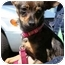 Photo 1 - Chihuahua Mix Puppy for adoption in Phoenix, Oregon - Wiggles