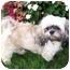 Photo 2 - Lhasa Apso Dog for adoption in Los Angeles, California - BRONSON