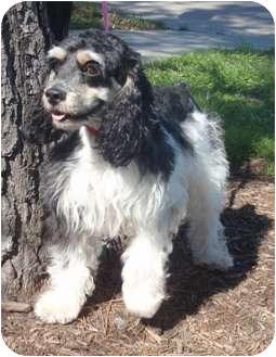 Cocker Spaniel Dog for adoption in Sugarland, Texas - Major