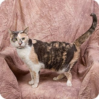Calico Cat for adoption in Anna, Illinois - ANGEL