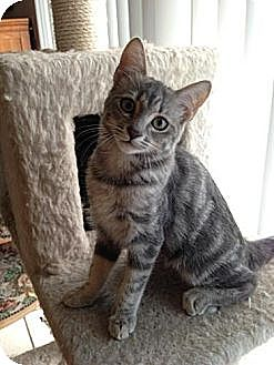 Domestic Shorthair Kitten for adoption in Miami, Florida - Monet