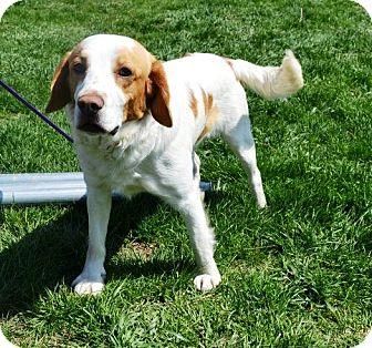 Brittany/Spaniel (Unknown Type) Mix Dog for adoption in Indianola, Iowa - Charlie