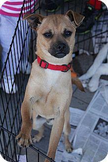 Pug/Chihuahua Mix Dog for adoption in Manassas, Virginia - Charlie