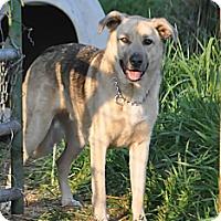 Adopt A Pet :: Blue Boy - Hamilton, MT