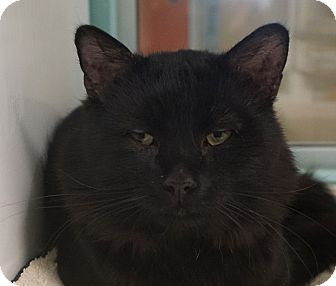 Domestic Mediumhair Cat for adoption in Farmington, New Mexico - Samuel