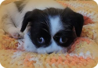 Shih Tzu Mix Puppy for adoption in Anderson, South Carolina - Gizmo/pending