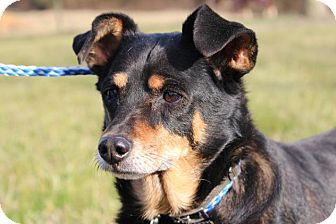 Miniature Pinscher Mix Dog for adoption in Fairmount, Georgia - Raven