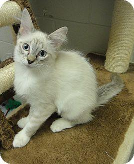 Siamese Cat for adoption in San Leon, Texas - London
