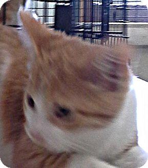 Domestic Shorthair Kitten for adoption in Maquoketa, Iowa - BW