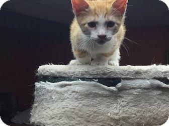 Domestic Shorthair Kitten for adoption in Toledo, Ohio - Walker