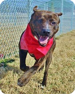 Pit Bull Terrier Mix Dog for adoption in Spokane, Washington - Chino