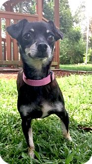 Miniature Pinscher Dog for adoption in Boca Raton, Florida - Cammile