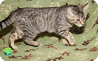 Domestic Shorthair Cat for adoption in Marietta, Ohio - Marie (Duchess' Kitten)