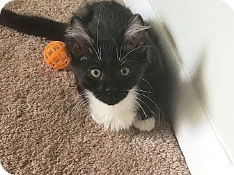Domestic Longhair Kitten for adoption in Tampa, Florida - Fiat