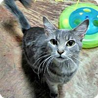 Domestic Mediumhair Cat for adoption in Laplace, Louisiana - Mary