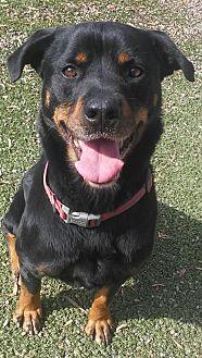 Rottweiler Dog for adoption in San Martin, California - Axel