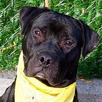 Adopt A Pet :: Beefcake a/k/a Teddy - Ridgefield, CT