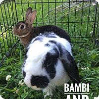 Adopt A Pet :: Bambi - Elizabethtown, KY