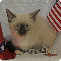 Adopt A Pet :: Simon Male Kitten - Knoxville, TN
