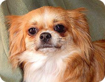 Chihuahua/Shih Tzu Mix Dog for adoption in Anderson, South Carolina - Esther