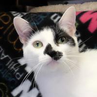 Adopt A Pet :: Violet - Ann Arbor, MI