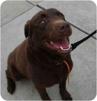 Labrador Retriever Dog for adoption in Avon, New York - Yogi