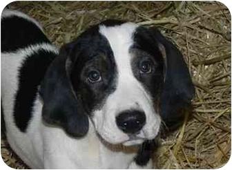 Hound (Unknown Type)/Labrador Retriever Mix Puppy for adoption in Salem, New Hampshire - Sargent Ron