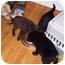 Photo 2 - German Shepherd Dog/Labrador Retriever Mix Puppy for adoption in Ripley, Ohio - Lisey