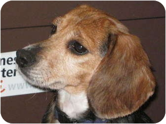 Beagle Dog for adoption in Des Plaines, Illinois - Laura