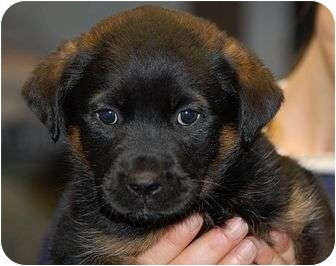 Beagle/Spaniel (Unknown Type) Mix Puppy for adoption in Hammonton, New Jersey - Bam Bam