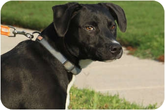 Labrador Retriever Mix Dog for adoption in McKinney, Texas - Buckley