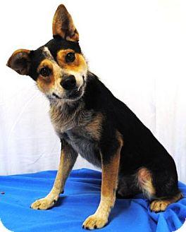 Basenji Mix Dog for adoption in Hillsboro, Ohio - Webster