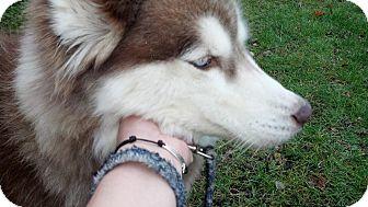 Siberian Husky Dog for adoption in Wappingers Falls, New York - Jasper