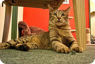 Domestic Shorthair Kitten for adoption in Fountain Hills, Arizona - JELLYBEAN