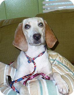 Hound (Unknown Type) Mix Dog for adoption in Eastpoint, Florida - Blondie