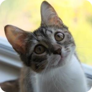 Domestic Shorthair Kitten for adoption in Naperville, Illinois - Claire