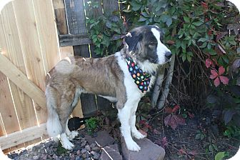 St. Bernard/Australian Shepherd Mix Dog for adoption in Denver, Colorado - Itasca