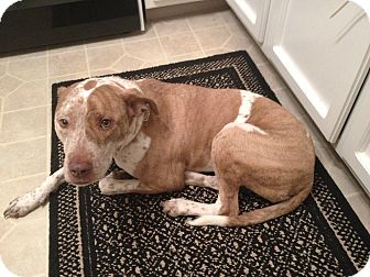 American Pit Bull Terrier/American Staffordshire Terrier Mix Dog for adoption in Columbus, Ohio - Marleau- Courtesy post