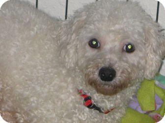 Bichon Frise Dog for adoption in Prole, Iowa - Larita