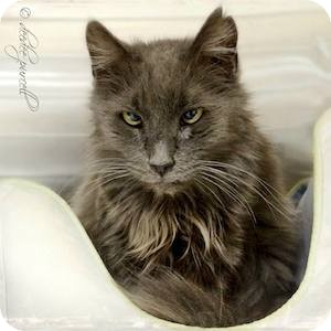 Domestic Longhair Cat for adoption in Gilbert, Arizona - Rainey