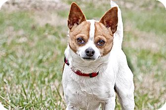 Chihuahua/Jack Russell Terrier Mix Dog for adoption in Cashiers, North Carolina - Farley