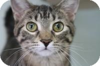 Domestic Shorthair Cat for adoption in Manitowoc, Wisconsin - Donner