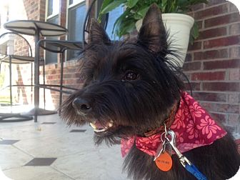 Cairn Terrier Dog for adoption in Frisco, Texas - Andrew