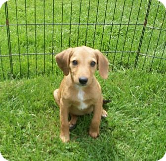 Dachshund/Beagle Mix Puppy for adoption in Liberty Center, Ohio - Dandy