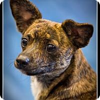 Adopt A Pet :: Tigger - Wickenburg, AZ