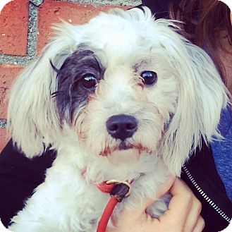 Shih Tzu/Poodle (Miniature) Mix Dog for adoption in Los Angeles, California - DIXIE (video)
